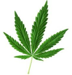 Cannabis (Andere)